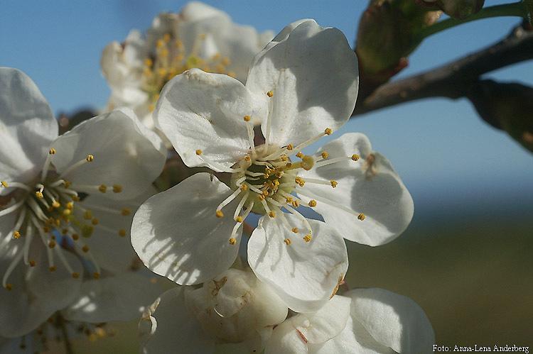 Träd vita blommor april